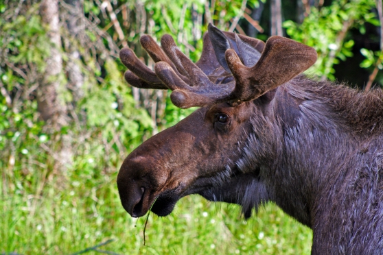 bull moose alaska north pole
